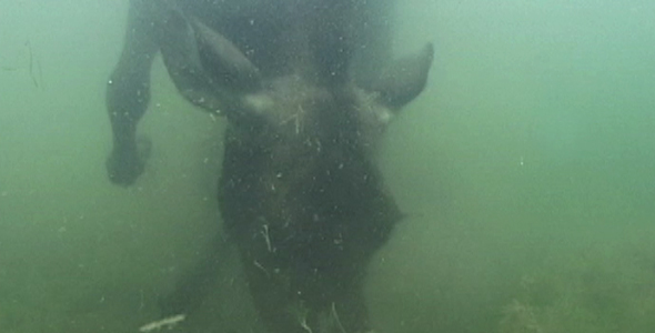 Cow Moose Underwater
