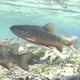 Brook Trout in Stream 4 - VideoHive Item for Sale
