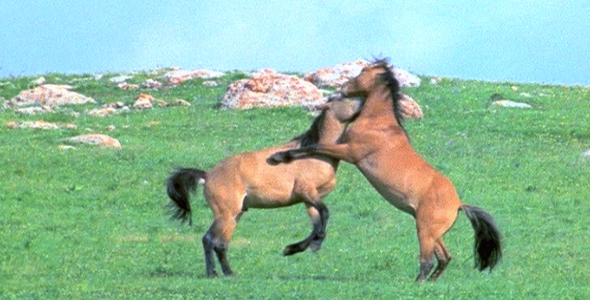 Wild Horses Fighting 2