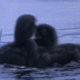 Two Loon Chicks Fight Sequence 2