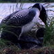 Loons Mating