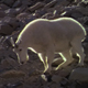 Billy Goats Walking Down a Mountain - VideoHive Item for Sale