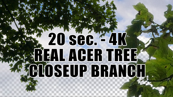 Real Acer Tree Branch with Alpha Channel