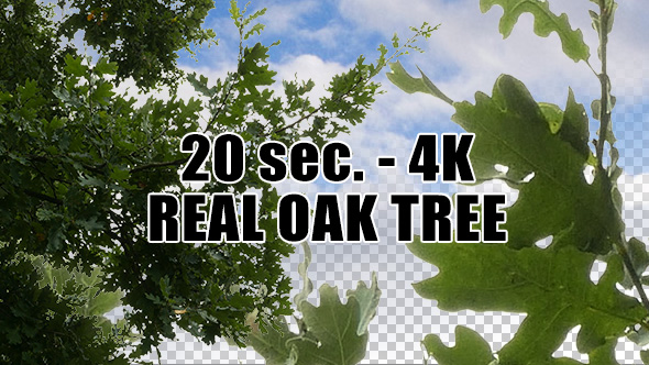 Real Oak Tree with Alpha Channel