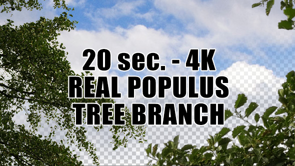 Real Populus Tree Branch with Alpha Channel
