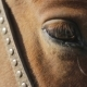 The Brown Horse With Settled Eye