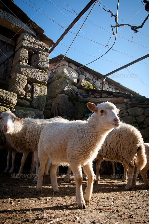 Rural scene - Heard of sheep - Stock Photo - Images