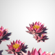 Lotus Flower Transition