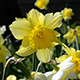 Daffodils - Close up