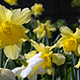 Daffodils - Tracking Shot