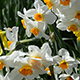 White Daffodils - Tilt Up