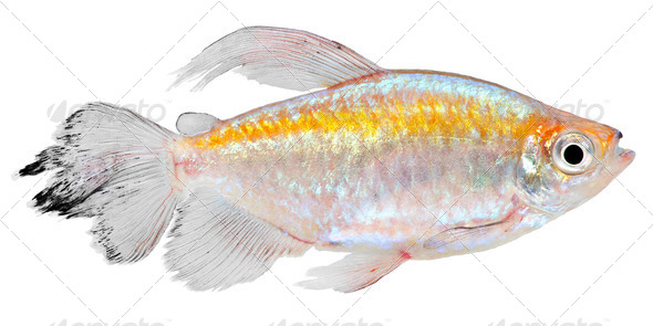 Congo Tetra Fish - Stock Photo - Images