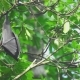Flying Fox Hangs On a Tree Branch And Washes