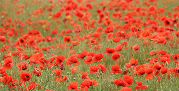 VideoHive Red Poppies On The Field 1606264