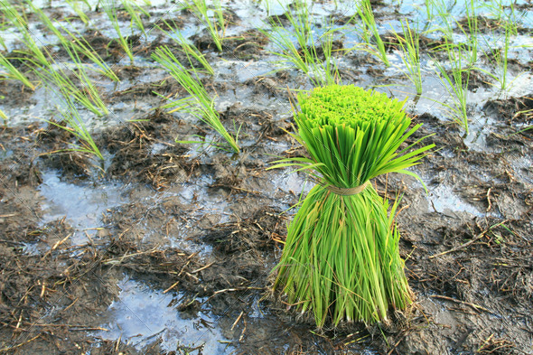 Rice Plants - Stock Photo - Images