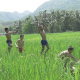 Kids Running And Jumping In Rice Field