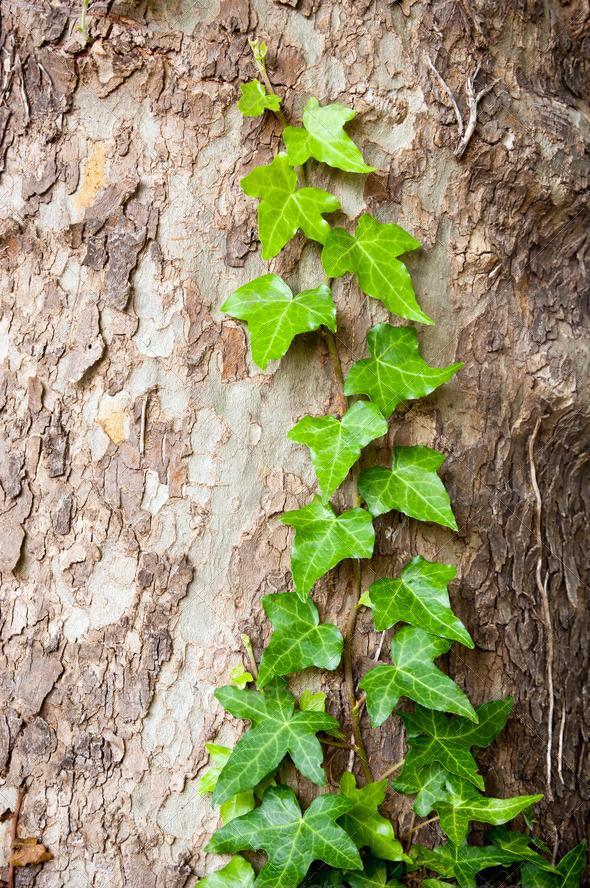 Tree Vine - Stock Photo - Images
