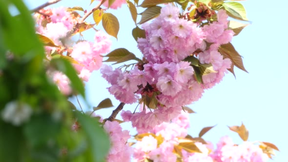 Download Sacura Blossom Inflorescence nulled download