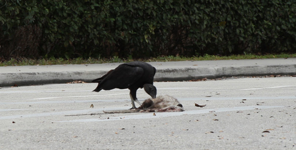 Vulture Eating Roadkill 1