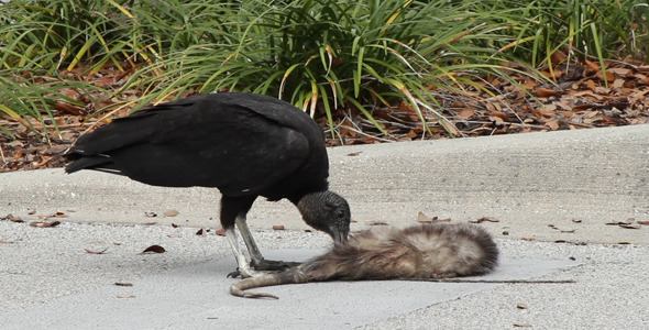 VideoHive Vulture Eating Roadkill 2 1613907