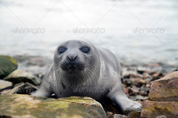 Harp seal - Stock Photo - Images