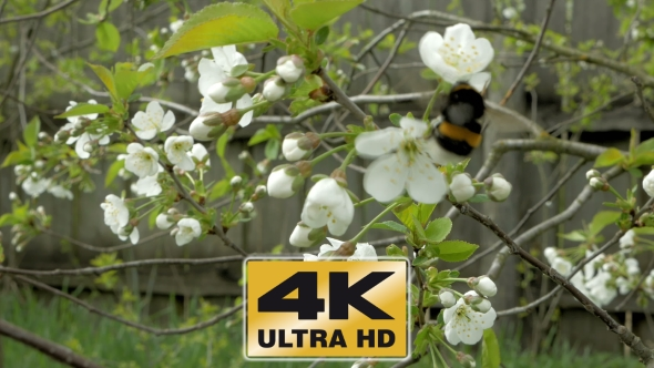 Download Bumblebee On Cherry Blossom Flowers nulled download