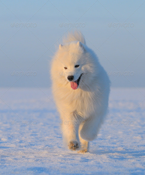 Samoyed Dog - snow-white dog from Russia - Stock Photo - Images