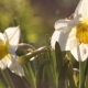 Little Insect Has Got Into a Narcissus