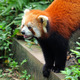 Red panda bear  - PhotoDune Item for Sale