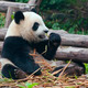 panda bear eating bamboo - PhotoDune Item for Sale