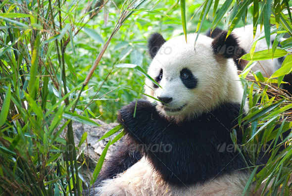 Giant panda bear eating bamboo shoots  - Stock Photo - Images