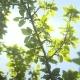 Leaves Against The Morning Sun