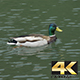 Swimming Duck on Pond