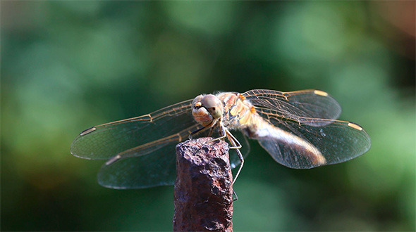 VideoHive Dragonfly 1628769
