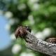 Melolontha Huddled On Branch Tip Crawling Antennas Exploring Air