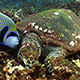 Hawksbill Turtle and Emperor Angefish Feeding Together