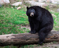 American Black Bear Sitting on a Tree Trunk - PhotoDune Item for Sale
