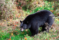 American Black Bear Walking Through Shrubs and Grass on a Fall D - PhotoDune Item for Sale