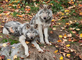 Two Gray Wolves Looking at the Camera - PhotoDune Item for Sale