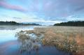 swamp with plenty cotton-grass at sunrise
