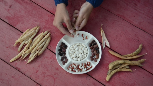 Download Farmer Hands Shell Husk Decorative Colorful Bean Pods nulled download