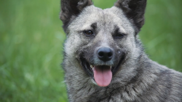 Download Portrait Of Gray Dog Stuck Out Her Tongue nulled download