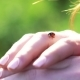 Ladybug on the Woman's Hands on Green Field Background