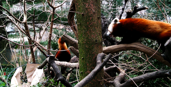 VideoHive Animals HD Red Panda 1 1638253
