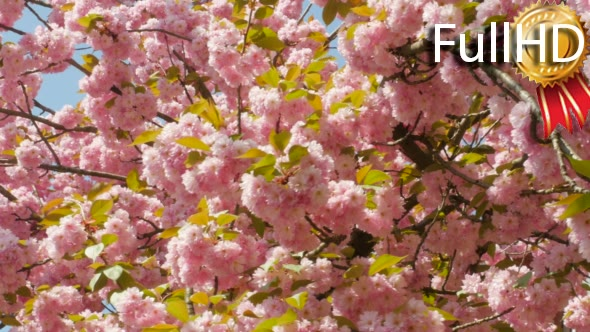 Download Sacura Blossom  nulled download