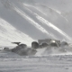Snowmobiles Which Are Swept Up By Snow At Strong Wind