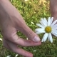 Girl Guesses On Chamomile On Nature In Summer.