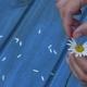 Female Hands Tear Off Daisy Flower Petals