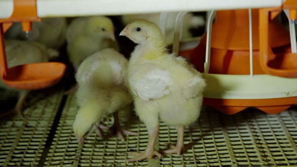 Download Intensive Factory Farming Of Chicks Broiler Houses nulled download