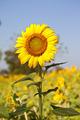 Sun flower - PhotoDune Item for Sale